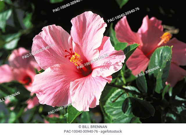 Soft pink hibiscus flower on bush, others soft focus in background