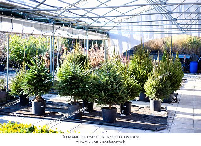 Christmas firs growing in nursery