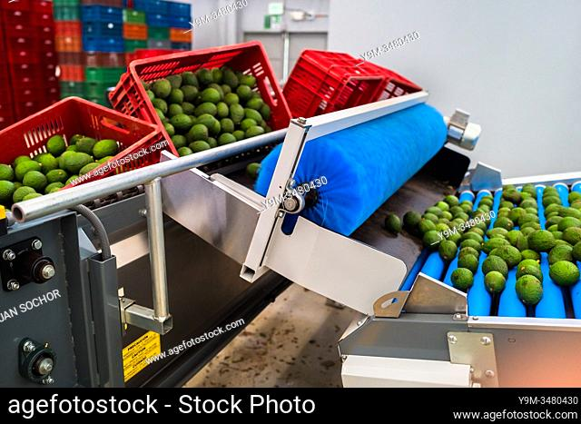 Avocados are seen moving down a conveyor belt during the cleaning process at a processing plant in Sonsón, Antioquia department, Colombia, 22 October 2019