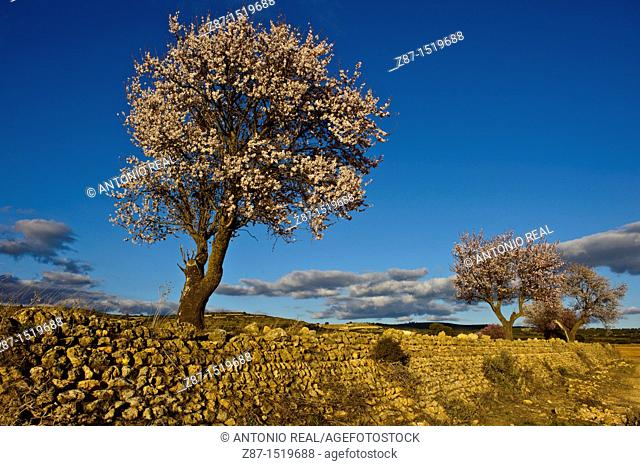 Almond trees in bloom, Los Pandos estate, Almansa, Albacete province, Castilla-La Mancha, Spain