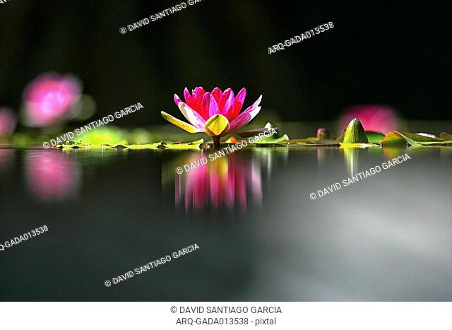 Water Lily Flower And Its Reflection In La Orotava Botanical Garden\, Spain