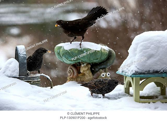 Common Starlings / European Starling (Sturnus vulgaris) and Eurasian Blackbird (Turdus merula) female at bird feeder in garden during snow shower in winter