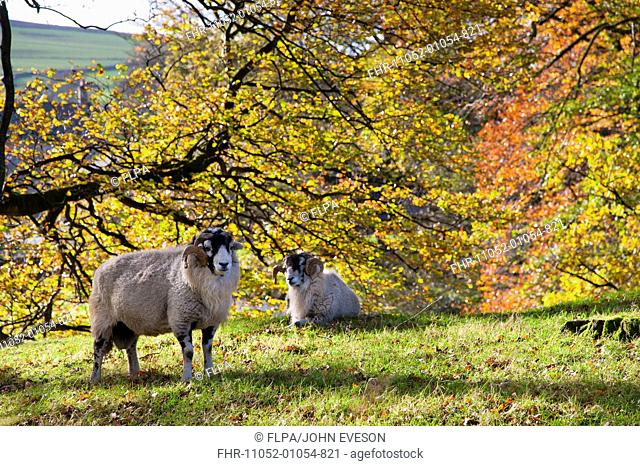 Domestic Sheep, Swaledale rams, near trees with leaves in autumn colour, Marshaw, Over Wyresdale, Forest of Bowland, Lancashire, England, november