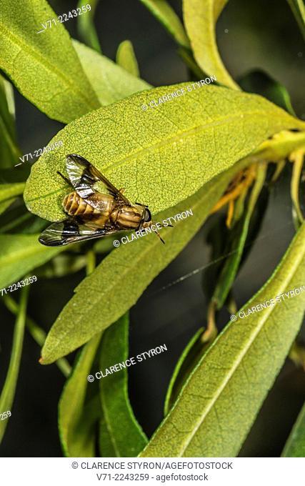 Deer Fly (Chrysops hanea) on Wax Myrtle (Myrica cerifera) Leaf