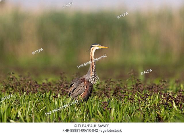 Purple Heron (Ardea purpurea) adult, standing on marshland, rousing, Danube Delta, Romania, June