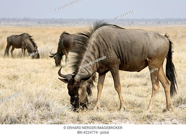 Blue wildebeest (Connochaetes taurinus), Etosha National Park, Namibia