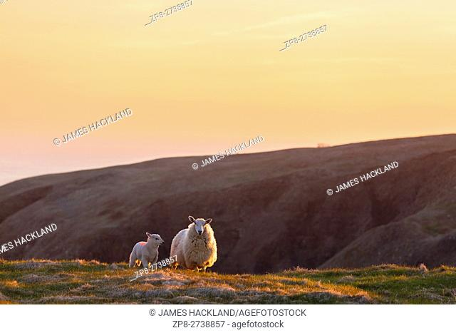 Sheep (Ovis aries) and her lamb on a hillside at Cape St. Mary's Ecological Reserve, Newfoundland, Canada