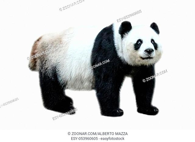 The Giant Panda, Ailuropoda melanoleuca, also known as panda bear, is a bear native to south central China. Panda standing, side view