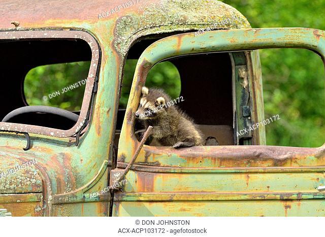 Raccoon (Procyon lotor) Babies exploring a derelict vehicle, captive raised, Minnesota wildlife Connection, Sandstone, Minnesota, USA