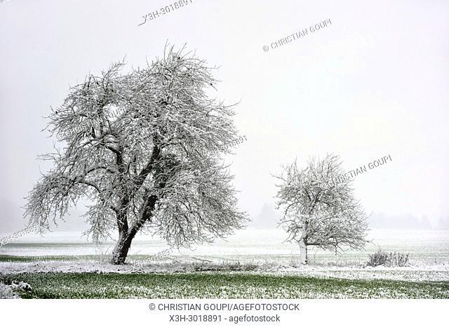 covered with snow apple trees, department of Eure-et-Loir, Centre-Val-de-Loire region, France, Europe