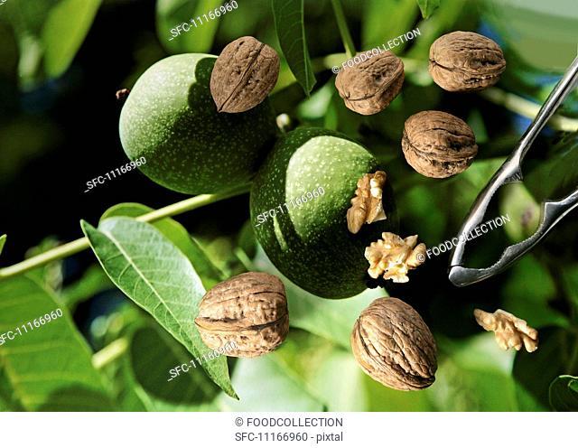 Nutcracker Covered in Walnuts