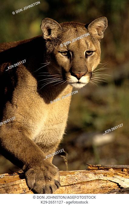 Cougar (Puma concolor)- captive specimen, Columbia Falls, Montana, USA