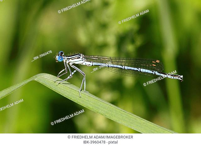 White-legged Damselfly (Platycnemis pennipes), male on a blade of grass, Hühnermoor nature reserve, North Rhine-Westphalia, Germany