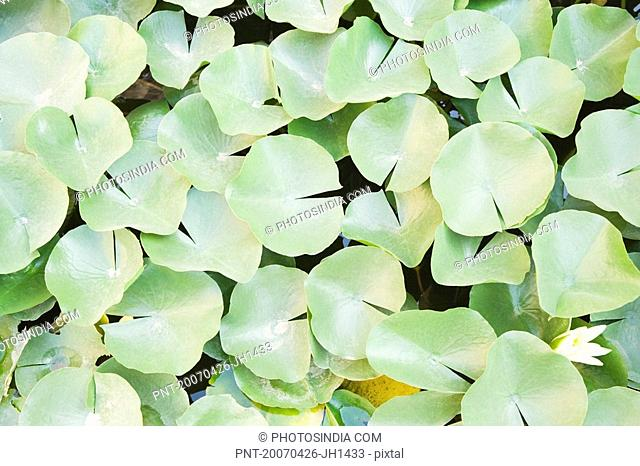 High angle view of lily pads in a pond