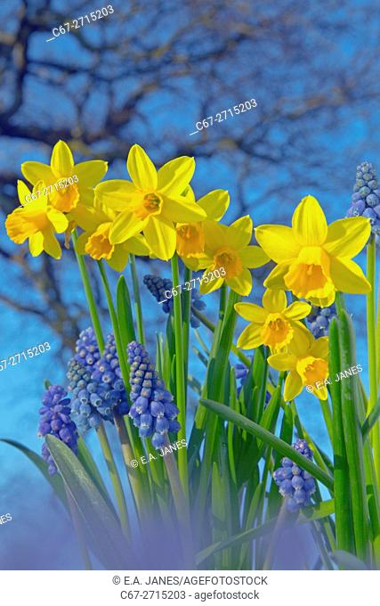 Grape Hyacinths and Daffodils Spring Norfolk