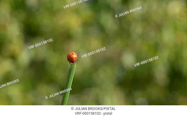 ladybird taking off from a grass stalk, slow motion