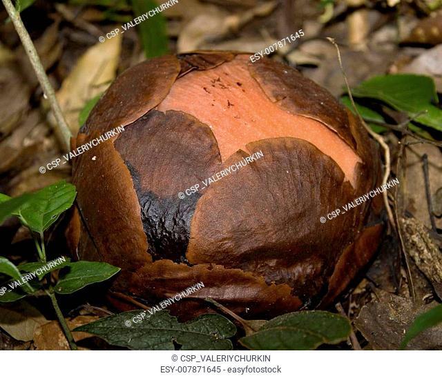 Rafflesia pricei