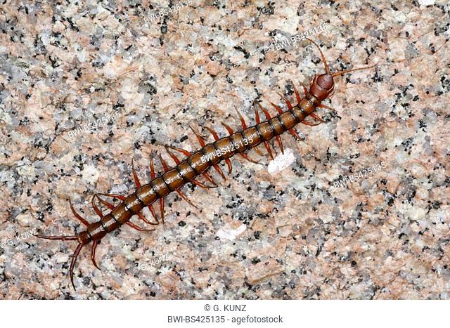 Chinese Red Head, Giant Centipede, Jungle Centipede, Orange Legged Centipede, Red Headed Centipede, Vietnamese Centipede (Scolopendra subspinipes), on a stone