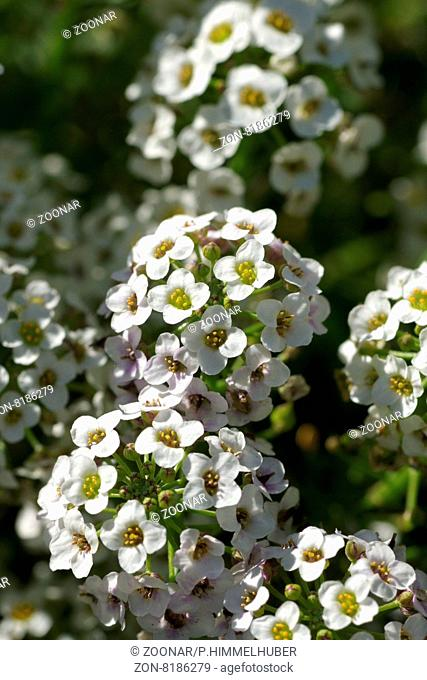 Lobularia maritima, Duftsteinrich, Sweet alyssum