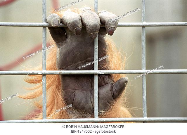 Hands of an orang-utan (Pongo) behind bars, Heidelberg Zoo, Baden-Wuerttemberg, Germany, Europe