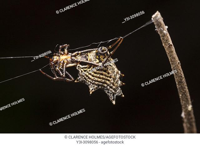 A female Spined Micrathena (Micrathena gracilis) waits for prey on her web