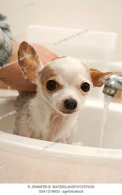 A chihuahua getting a bath in a bathroom sink