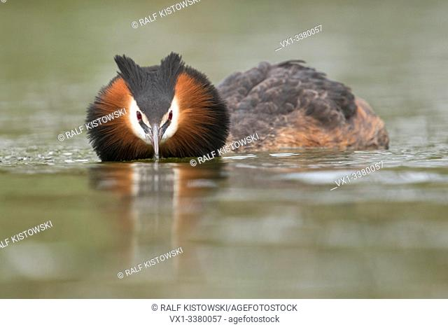Great Crested Grebe / Haubentaucher ( Podiceps cristatus ) swims in flatten pose, searching for its partner, courting, frontal shot, eye contact, Europe