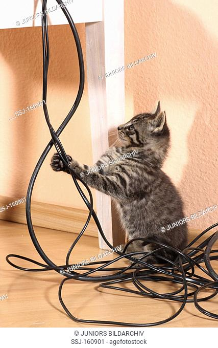 tabby kitten playing with cables