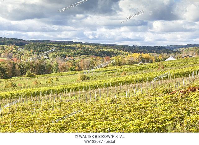 Canada, Nova Scotia, Annapolis Valley, Wolfville, a local vineyard