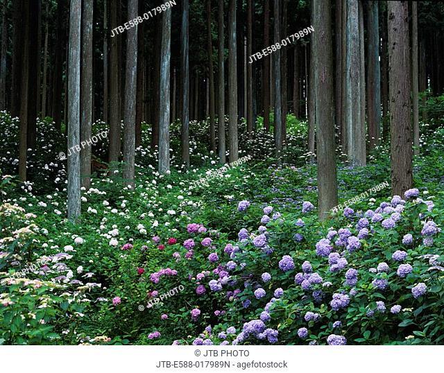 Michinoku hydrangea garden, hydrangea, Japan cedar woods, Ichinoseki, Iwate, Tohoku, Japan, July