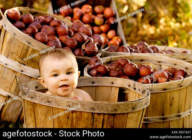 Baby girl in a apple basket at the Twenty Acre Farm in Grand Isle, Vermont