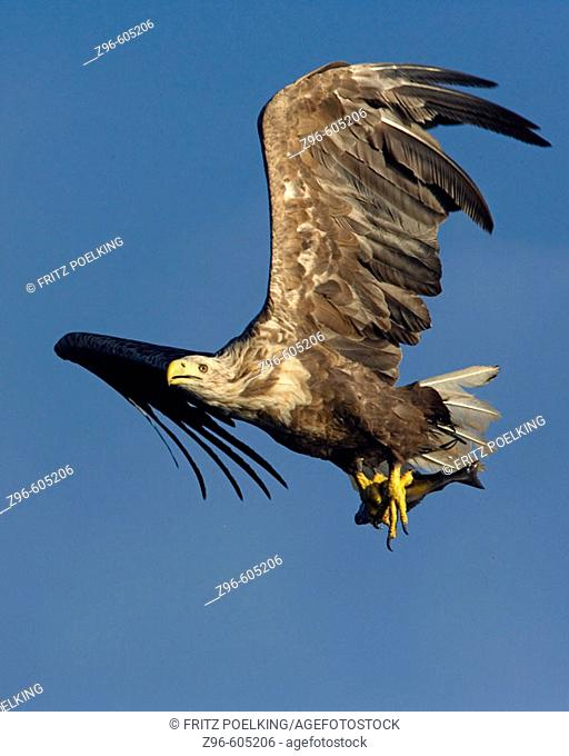 White-tailed Sea Eagle (Haliaeetus albicilla). Norway