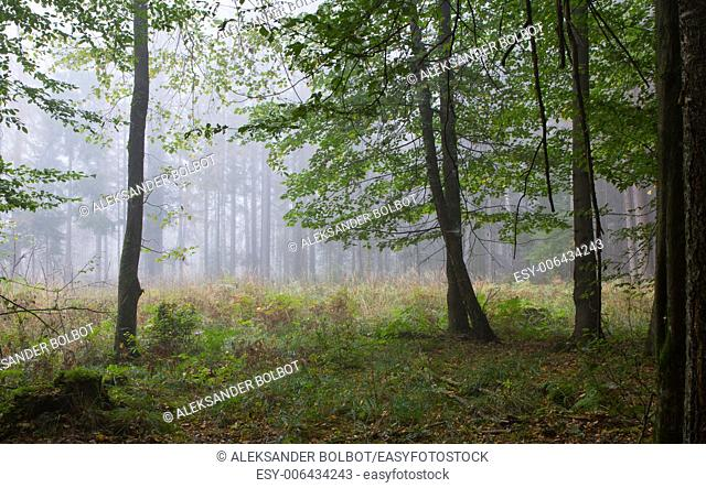 Autumnal deciduous stand with open area in mist