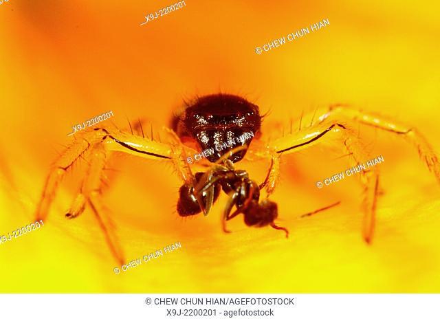 Spider having its meal, Sarawak, Borneo