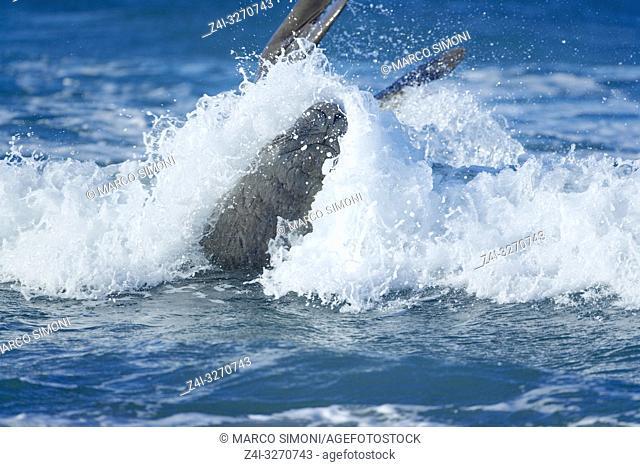 A Southern elephant seal (Mirounga leonina) male surfing, Sea Lion Island, Falkland Islands, South Atlantic, South America