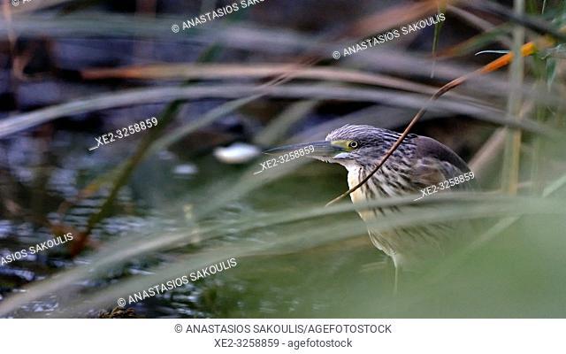 Squacco Heron (Ardeola ralloides), Crete