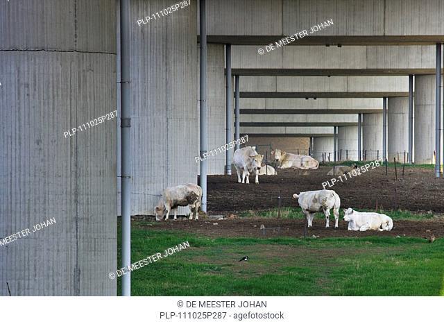 Cows grazing under highway bridge, Belgium