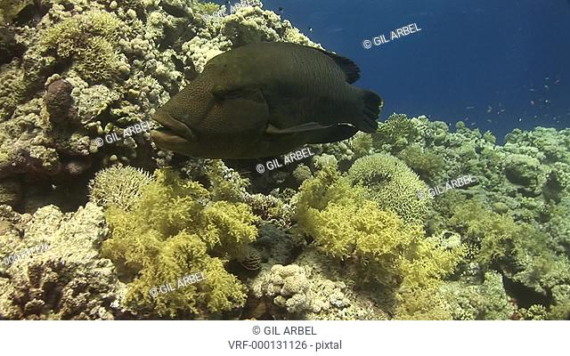Humphead wrasse Cheilinus undulatus. Red Sea