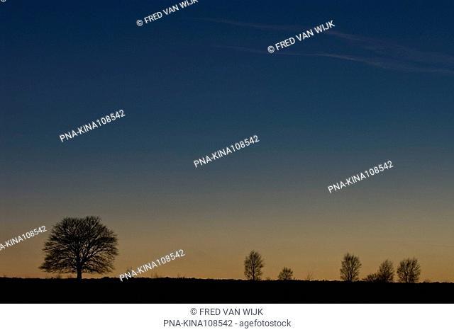 Birch Betula - Edese Heide, Ede, Veluwe, Guelders, The Netherlands, Holland, Europe
