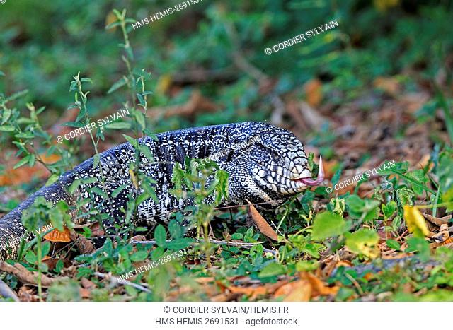 Brazil, Mato Grosso, Pantanal area, Gold tegu, also known as Golden tegu, Common tegu, Black tegu and Colombian tegu (Tupinambis teguixin)