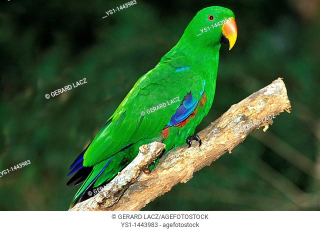 ECLECTUS PARROT eclectus roratus, MALE STANDING ON BRANCH