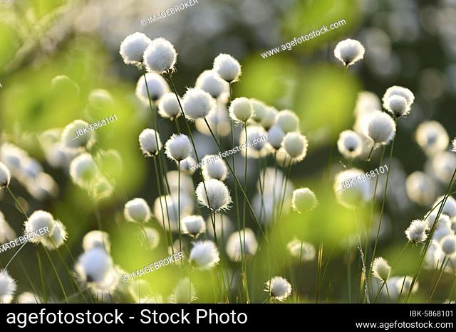 Hare's-tail cottongrass ( Eriophorum vaginatum) in moor, fruiting, cotton grass blossom, Lower Saxony, Germany, Europe