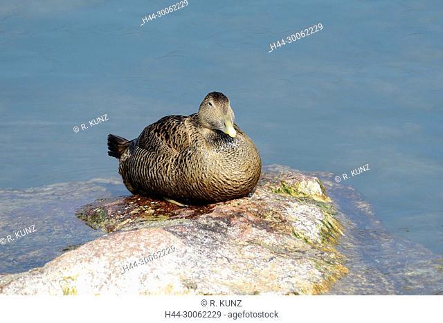 Common Eider, Somateria mollissima, Anatidae, female, duck, bird, animal, Hurden, Obersee, Canton of Schwyz, Switzerland