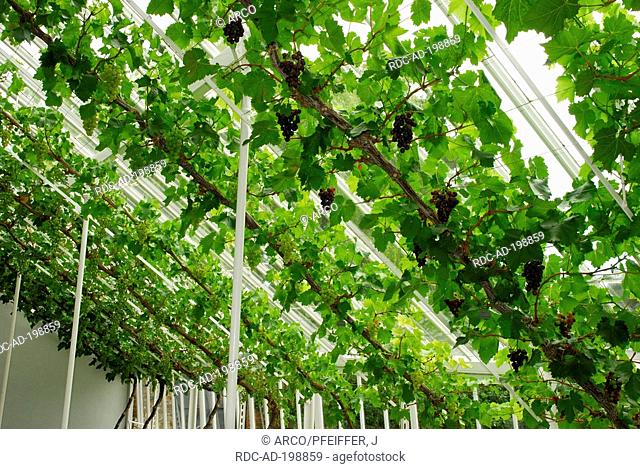 Vines in greenhouse, West Dean Garden, West Sussex, England, Vitis vinifera