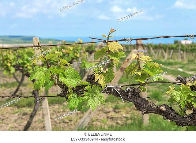 Spring Vineyard with early blossoming leaves in the daytime
