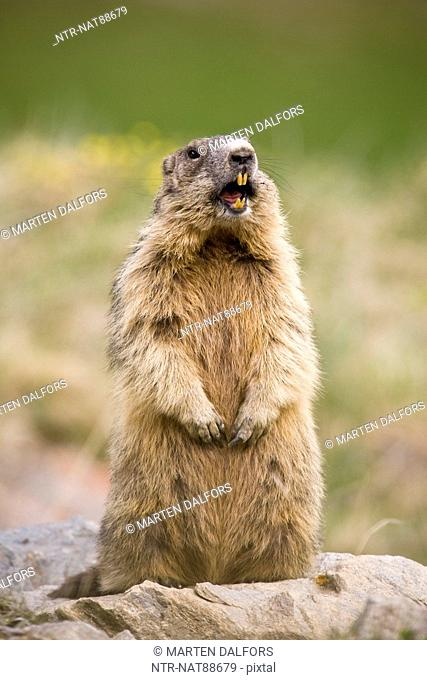 Alpine marmot on tree stump, close-up