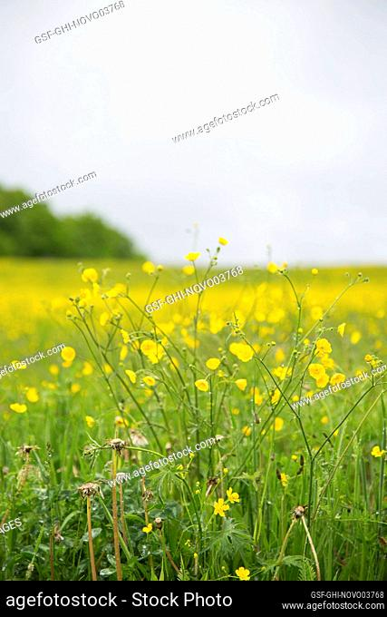 Buttercup Wildflowers in Field, Grey Sky