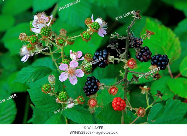 shrubby blackberry (Rubus fruticosus), with flowers and fruits, Germany