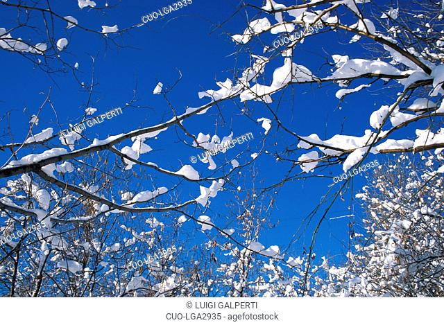 Snow on branches, Italy