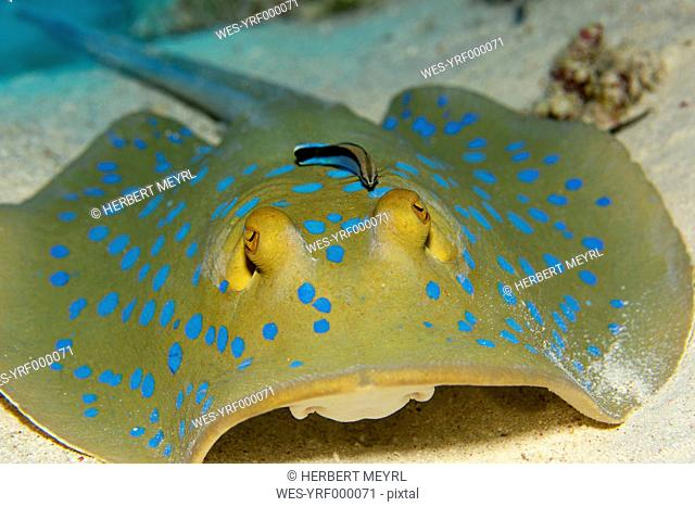 Egypt, Red Sea, Bluestreak cleaner wrasse, Labroides dimidiatus, sitting on Bluespotted ribbontail ray, Taeniura lymma